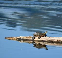 Turtle sunning itself on a log