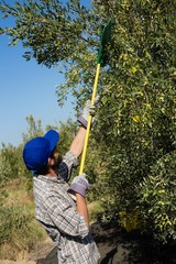 Farmer using olives picking tools while harvesting