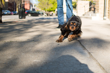Adorable Cavalier King Charles Spaniel puppy pulling at her leash, excited to run and play and be on a walk with her owner