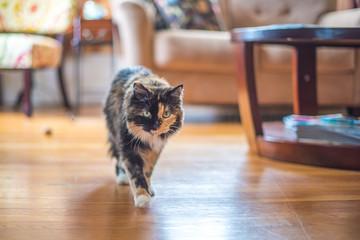 Cute tortoiseshell cat on the prowl indoors