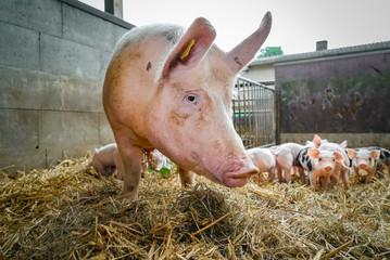 Bio-Schweine, Muttersau mit Saugferkeln im Outdoor Strohstall
