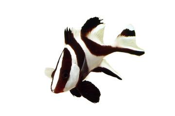センネンダイ 幼魚