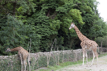 Two giraffes look for food on the trees