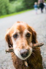 Golden Retriever Holding Stick