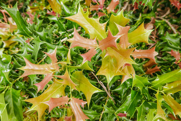 new, colorful young leaves on a holly bush