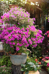 Bougainvillea bush with blooming bright pink flowers in pot