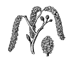 Alder. Vector leaves, flowers and fruits of the alder. Detailed botanical illustration for your design. Vector images of medicinal plants.