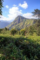 Plantation de thé avec vu sur le Ella's rock au sri lanka