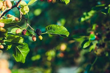 Mulberry in a garden