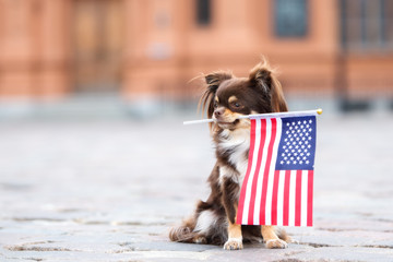 chihuahua dog holding an american flag in her mouth