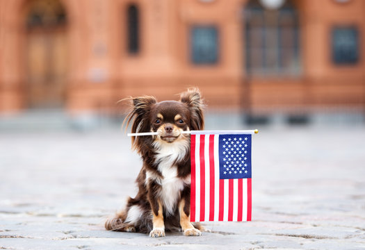 brown chihuahua dog holding an american flag