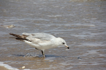 Ring-Billed Gull looking for food at the beach / Palm Beach, Atlantic Ocean, Florida, USA