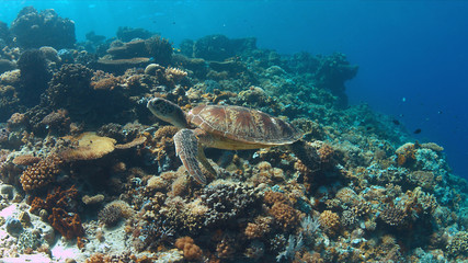 Green Sea turtle swims on a colorful coral reef.