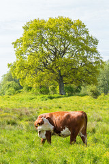 Cow in high grass on a summer meadow