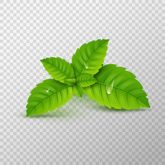 Fresh mint leaf. Vector menthol healthy aroma. Herbal nature plant. Spearmint green leafs