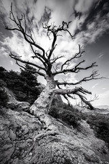 Black and white huge lonely old tree on a mountain with a big root on the rocks. Dramatic style of the sky.