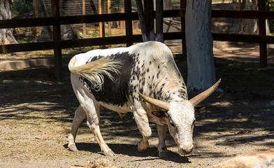 Wattsi bull with a white tail walks through the territory