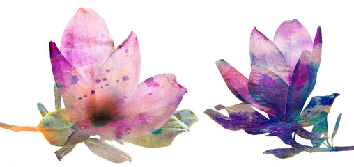 photo of pink magnolia flowers on a white background - with watercolors texture