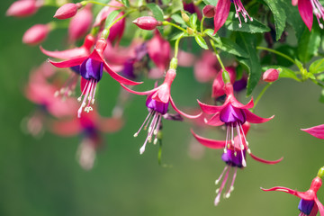 Hanging fuchsia blooming flowers with soft green garden background