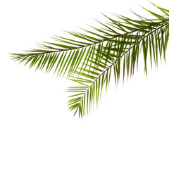 Two  Palm Leaves isolated on white background