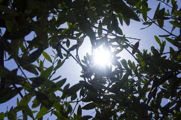 Olive tree with sunrays, Peace.