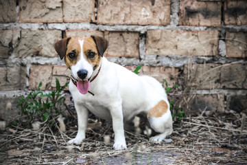 A dog Jack Russell Terrier sitting on the background of the old brick wall of a ruined building
