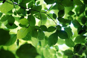 Blätterwerk (Flatterulme)