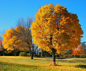 Golden Majestic Autumn Maple