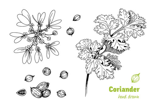 Coriander plant, flowers,  leaves and seeds vector hand drawn illustration