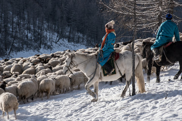 Girl shepherd sitting on horse and shepherding herd of sheep in prairie with snow-capped mountains on background
