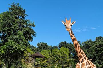 Looking Giraffe frontal portrait