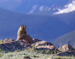 Alpine Marmot - Rocky Mountain National Park, Colorado