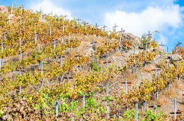 rows of grapevines in a hillside vineyard