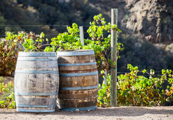 weathered wooden barrels with grapevines in vineyard