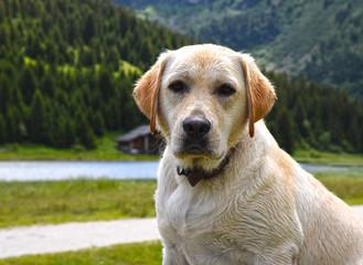 Labrador sable à la montagne