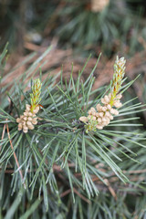 Pollen spreaders on a pine tree branch.