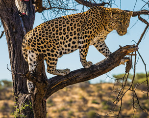 Spotted african leopard climbed a tree