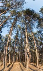 Looking up at the sky in the pine forest.