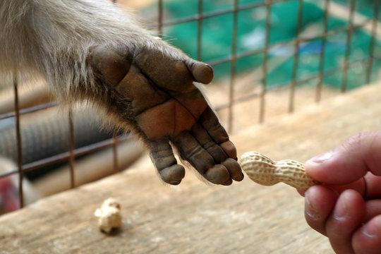 monkey hand taking peanuts from man's hand