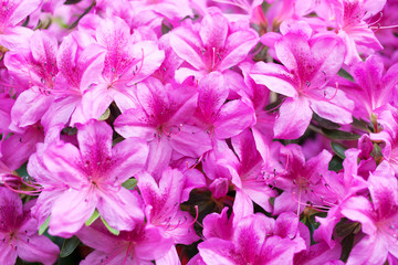 Pink flowers of a rhododendron close up