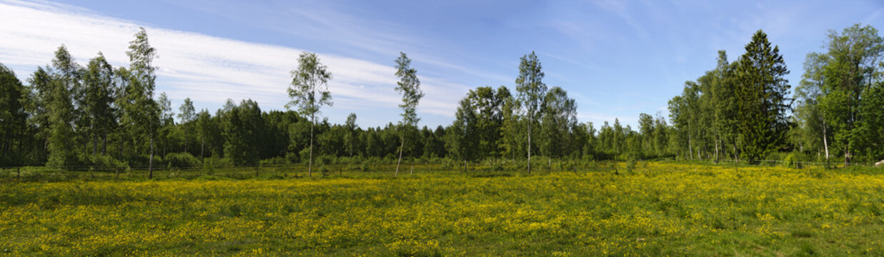 yellow flowering meadow in Sweden