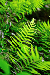 Fern shrubs in natural environment - Pteridium aquilinum