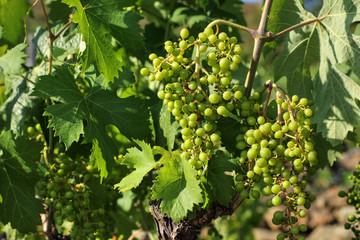 Grappoli d'uva di Rossese a giugno 02
