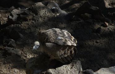 Gyps fulvus eagle