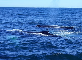 Two Humpback Whales in Stellwagen Bank National Marine Sanctuary Cape Cod Bay