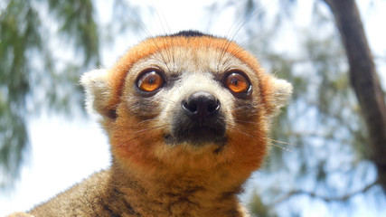 a nice lemur in a small village in madagascar