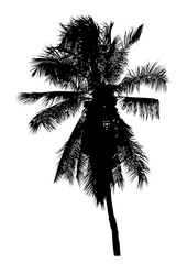 silhouette of realistic coconut tree, palm tree illustration, vector summer sign