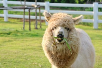 A cute light brown alpaca is eating grass in the farm with relax and enjoy.