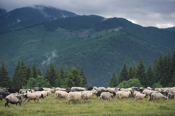 Sheeps herd on the pasture. Farm composition