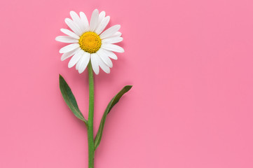 Isolated white chamomile flower on pink background. Top view.